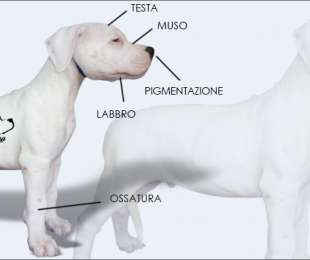 Come scegliere un Cucciolo di Dogo Argentino